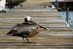 Pelican on an Ocean Pier. Pelican on an Ocean wooden pier in the morning sun stock photo
