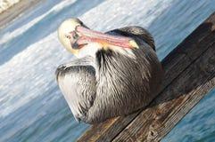 Pelican in Oceanside, California Stock Image