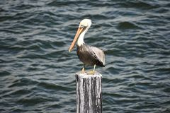 Free Pelican On Blue Sea Background In Florida`s Historic Coast .in Florida`s Historic Coast. Stock Photo - 138033500