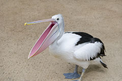 Pelican with open beak. Stands on the sand Stock Photos