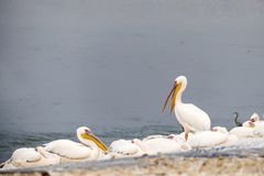 Pelican with an open beak stands among resting pelicans. The time of migration in Israel Stock Images
