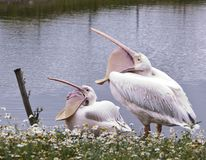 Pelican with open beaks. Near the water royalty free stock image