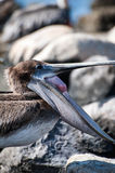 Pelican with an open mouth Stock Photography
