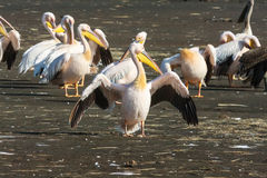 Pelican with open wings. Nakuru Stock Images