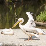 Pelican with open wings Royalty Free Stock Photo