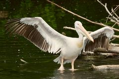 Pelican with opened wings Stock Photography