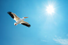Pelican over blue sky background Stock Photos