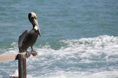 Pelican over looking the sea stock images