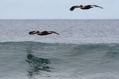 Pelican over ocean. Waveriding pelicans soaring low over pacific ocean Royalty Free Stock Photography