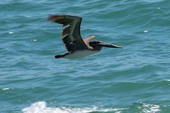 Pelican over the ocean stock image