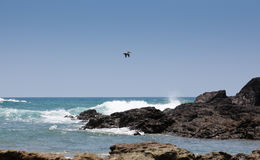 Pelican Over the Pacific Stock Images