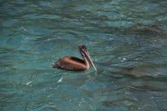 Pelican. In the Pacific Ocean at Puerto Ayora, Santa Cruz island, Galapagos Royalty Free Stock Image
