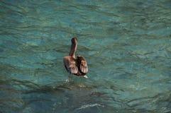 Pelican. In the Pacific Ocean at Puerto Ayora, Santa Cruz island, Galapagos Stock Photos