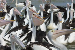 Pelican Pack Royalty Free Stock Image