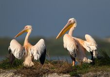 Pelican Pair Royalty Free Stock Photography