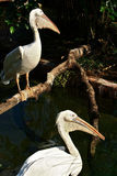 Pelican pair Royalty Free Stock Images