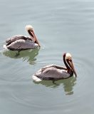 Pelican Pair. A pair of pelicans prowl for lunch in South Carolina Royalty Free Stock Images