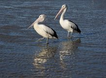 Pelican pair on beach. Two pelicans on the shore line reflected in the shallow mud Stock Photos