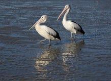 Pelican pair on beach Stock Photos