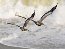 Pelican Pair with Ocean Surf Royalty Free Stock Images