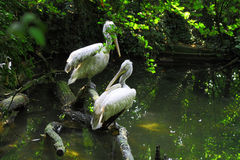 Pelican. A pair of white pelicans in nature Stock Photography