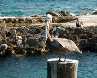Pelican on a pal. Wild animals by the sea shore Royalty Free Stock Photo