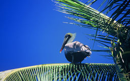 Pelican on palm tree Stock Photography