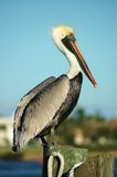 Pelican Pam. Florida Pelican resting at the dock Stock Photo