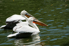 Pelican Paradise Stock Photography