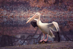 Pelican in the park Royalty Free Stock Photo