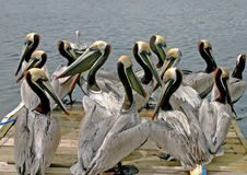 Pelican Party Stock Image