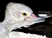 Pelican peeking Stock Photos