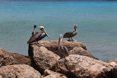 Pelican Pelecanidae bird caribbean sea coast Royalty Free Stock Image