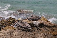 Pelican Pelecanidae bird caribbean sea coast Stock Photography