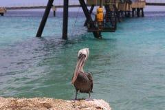 Pelican Pelecanidae bird caribbean sea coast Stock Photo
