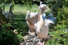 Pelican (Pelecanidae) Stock Images