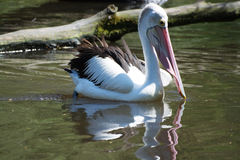 Pelican (Pelecanidae) Stock Photos