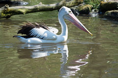 Pelican (Pelecanidae) Royalty Free Stock Photography