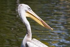 Pelican - Pelecanidae Royalty Free Stock Photography