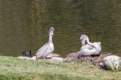 Pelican - Pelecanidae Stock Photos