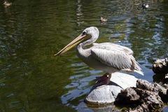 Pelican - Pelecanidae Stock Photography