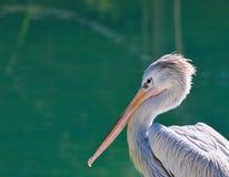 Pelican, Pelecanus. Pelican at the sea waiting to catch fish Stock Photos