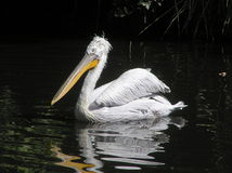 Pelican (Pelecanus crispus). Dalmatian Pelican (Pelecanus crispus) on the black water Stock Images