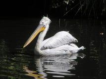 Pelican (Pelecanus crispus) Stock Images