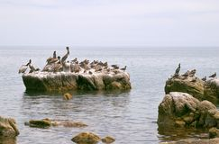 Pelican (Pelecanus onocrotalus) and marine birds Stock Photos