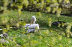 Pelican Pelecanus onocrotalus snatches feathers sitting in the grass. stock photos