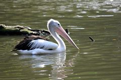 A pelican Stock Images