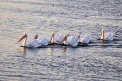 Pelican Stock Photo