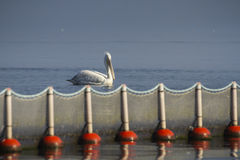 Pelican. S on the shore of the Kerkini Lake, Greece royalty free stock photos