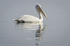 Pelican. S on the shore of the Kerkini Lake, Greece Royalty Free Stock Photo